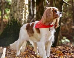 Kira, chien Cavalier King Charles Spaniel