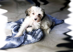 Kira, chien Lhassa Apso