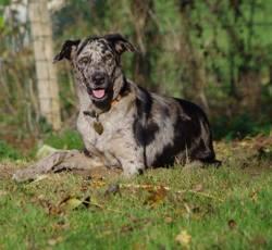 Kira, chien Dogue allemand