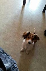 Kira, chien Jack Russell Terrier