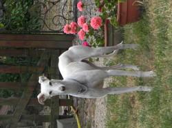 Kira, chien Lévrier espagnol