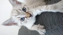 Kira, chaton Européen