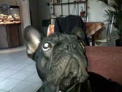 Kira, chien Bouledogue français