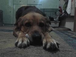 Kira, chien Beauceron