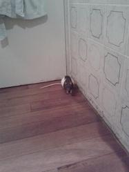 Kira, rongeur Rat
