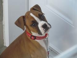 Kira, chien Boxer