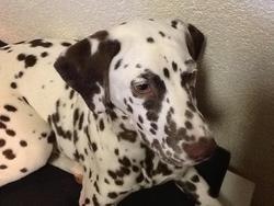 Kira, chien Dalmatien