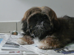 Kira, chien Shih Tzu