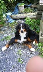Kira, chien Bouvier bernois