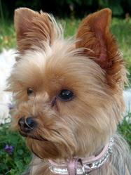 Kira, chien Yorkshire Terrier