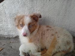 Kira, chien Berger australien