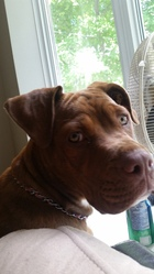 Kira, chien Dogue de Bordeaux