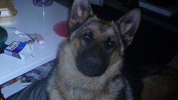 Kira , chien Berger allemand
