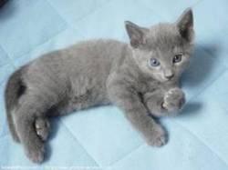 Kirikou, chat Bleu russe