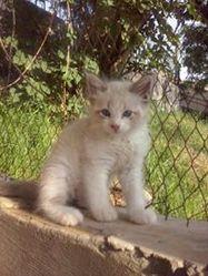 Kiro, chat Siamois