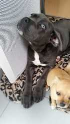 Kiss, chien Cane Corso
