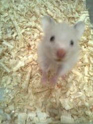 Kiss, rongeur Hamster