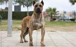 Kiss, chien Dogo canario