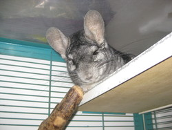 Kiss Cool, rongeur Chinchilla