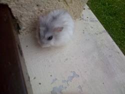 Kissme, rongeur Hamster