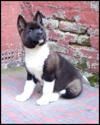 Kita, chien Akita américain