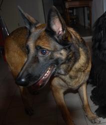 Kita, chien Berger belge