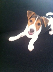 Kito, chien Jack Russell Terrier