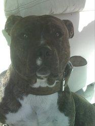 Kitonn Lievore's Edition Vampiro, chien American Staffordshire Terrier
