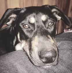 Kitsune, chien Berger belge