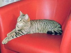 Kittie, chat Européen