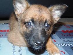 Kittie, chien Berger belge