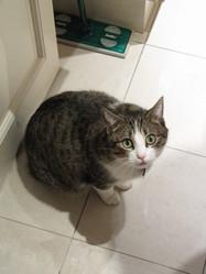 Kittou, chat Européen