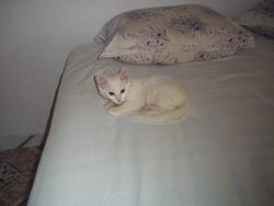 Kitty, chat Angora turc