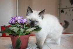 Kitty, chat Ragdoll