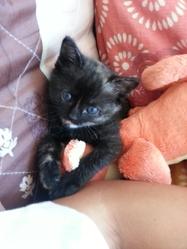 Kitty , chat Européen