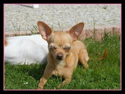 Kitty, chien Chihuahua