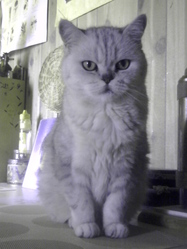 Kitty, chat British Shorthair