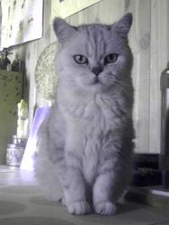 Kitty, chat British Shorthair