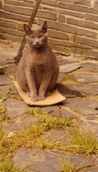 Kitty, chat Bleu russe