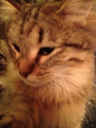 Kitty, chat Birman