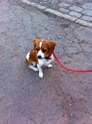Kitty, chien Cavalier King Charles Spaniel