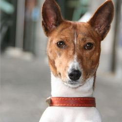 Kitty, chien Basenji