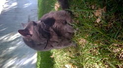 Kitty, chat Chartreux