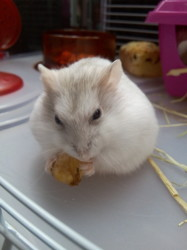 Kitty, rongeur Hamster