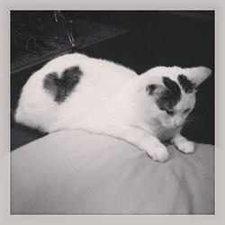 Kitty-Mounette, chat Européen