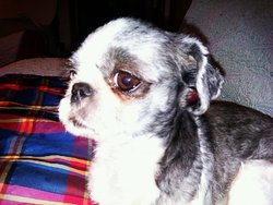 Kitty Rose Dite Kiki, chien Shih Tzu