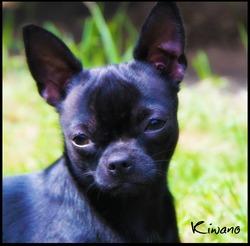 Kiwano, chien Chihuahua
