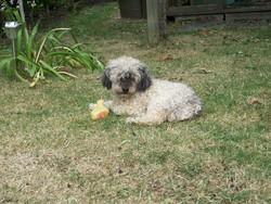 Kiwi, chien