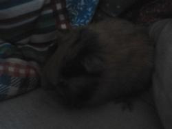 Kiwi, rongeur Cochon d'Inde