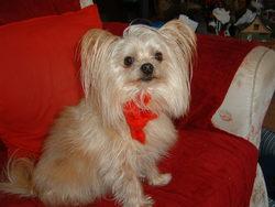 Kiwi, chien Yorkshire Terrier
